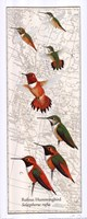Rufous Hummingbird Fine Art Print