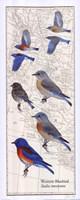 Western Bluebird Fine Art Print