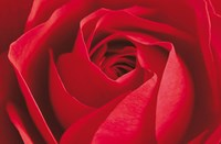 L'Important c'est la Rose Wall Poster