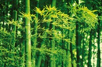 Bamboo in Spring Wall Poster