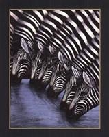 Zebra's Watering Hole Fine Art Print