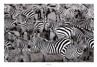 Zebras Abstraction Fine Art Print