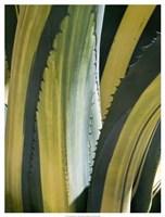 Variegated Agave I Fine Art Print