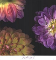 Purple Dahlia I Fine Art Print