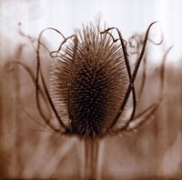 Thistle Framed Print