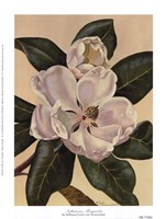 Afternoon Magnolia Fine Art Print