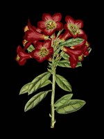 Crimson Flowers on Black (A) IV Fine Art Print
