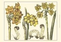 Small Narcissus in Bloom I (P) Fine Art Print