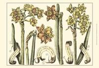 Small Narcissus in Bloom II (P) Fine Art Print