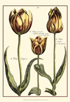 Small DePasse Tulipa II (P) Fine Art Print