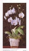 Orchid Phaleanopsis Fine Art Print