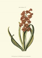 Antique Hyacinth V Fine Art Print
