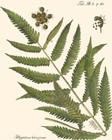 Small Antique Fern II Fine Art Print