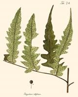 Small Antique Fern VII Fine Art Print