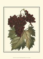 Vintner's Varieties III Framed Print