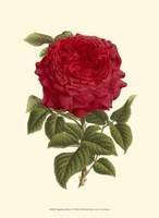 Magnificent Rose II Fine Art Print