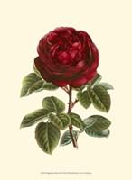 Magnificent Rose III Fine Art Print