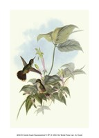 Single Gould Hummingbird (IP) II Fine Art Print