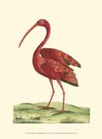 Red Ibis Fine Art Print