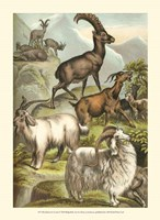 Johnson's Goats Fine Art Print