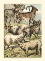 Johnson's Sheep Fine Art Print