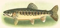 River Trout III Fine Art Print
