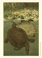 Pond Turtles Fine Art Print