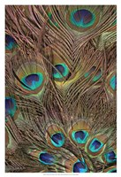 Peacock Feathers III Fine Art Print