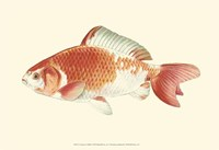 Common Goldfish Fine Art Print