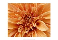 Graphic Dahlia I Fine Art Print
