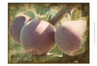 Vintage Apples I Fine Art Print