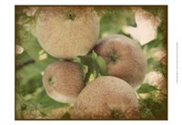 Vintage Apples IV Fine Art Print