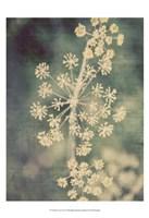 Queen Ann's Lace I Fine Art Print