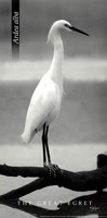 The Great Egret Fine Art Print