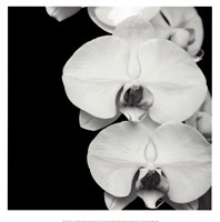Orchid Portrait II Framed Print