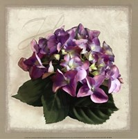 Botanical Hydrenga Framed Print