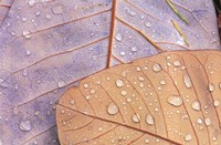 Waterdrops on Magnolia Journal Fine Art Print