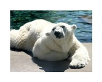 Polar Bear on the floor Fine Art Print