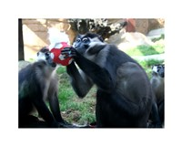 Monkeys - Why play ball when you can eat it Fine Art Print
