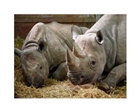 Two Rhinos Fine Art Print