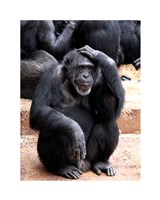 Chimp - Let me think it over Framed Print