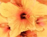 Hibiscus Cluster I Framed Print