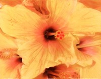Hibiscus Cluster I Fine Art Print