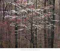 Pink and White Dogwoods, Kentucky Framed Print