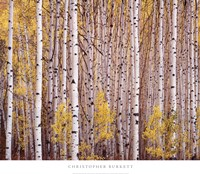 Aspen Grove, Colorado Fine Art Print