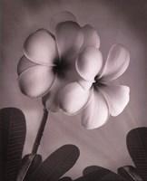 Plumeria I - mini Fine Art Print