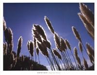 Pampas Grass, Provence Fine Art Print