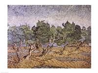 Olive Orchard, Violet Soil Fine Art Print