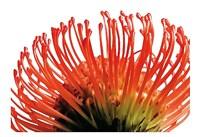 Orange Protea 2 Fine Art Print
