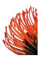 Orange Protea 4 Fine Art Print
